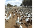 for-selling-boer-goats-small-1