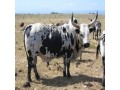 for-selling-nguni-cattle-bulls-small-0