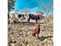 for-selling-nguni-cattle-bulls-small-1
