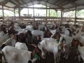 for-selling-boer-goats-small-0